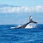 世界一大きな動物、シロナガスクジラ@スリランカ