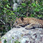 野生のスリランカヒョウを求めてウィルパットゥ国立公園へ